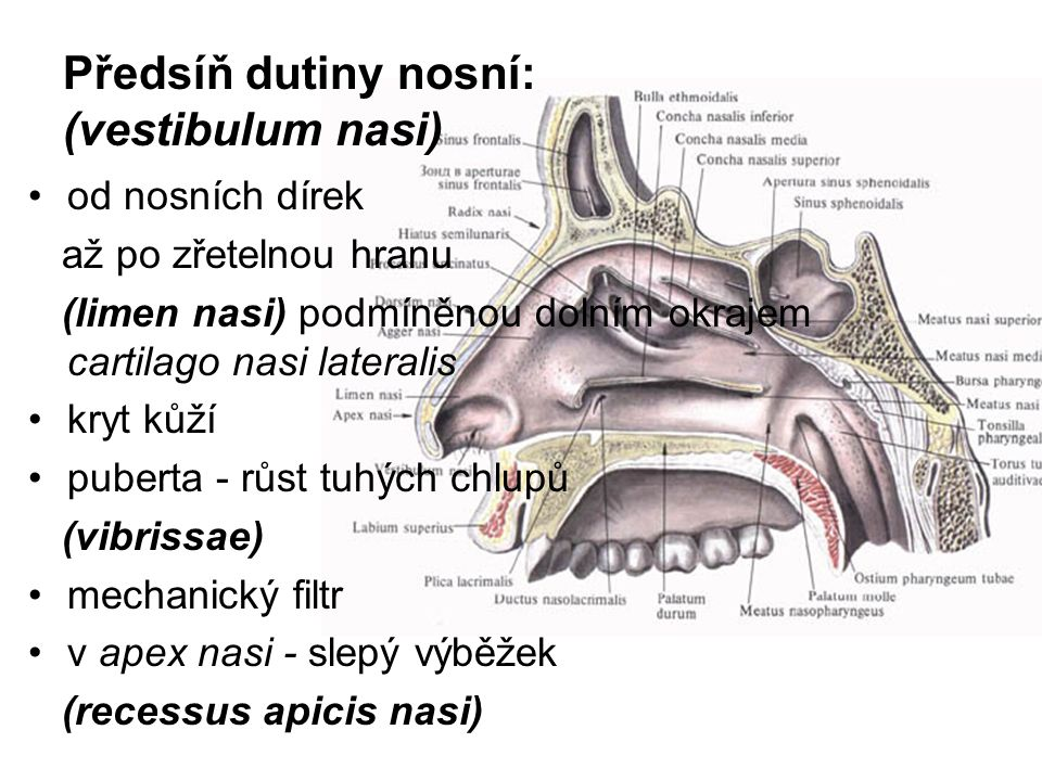 Předsíň dutiny nosní: (vestibulum nasi)