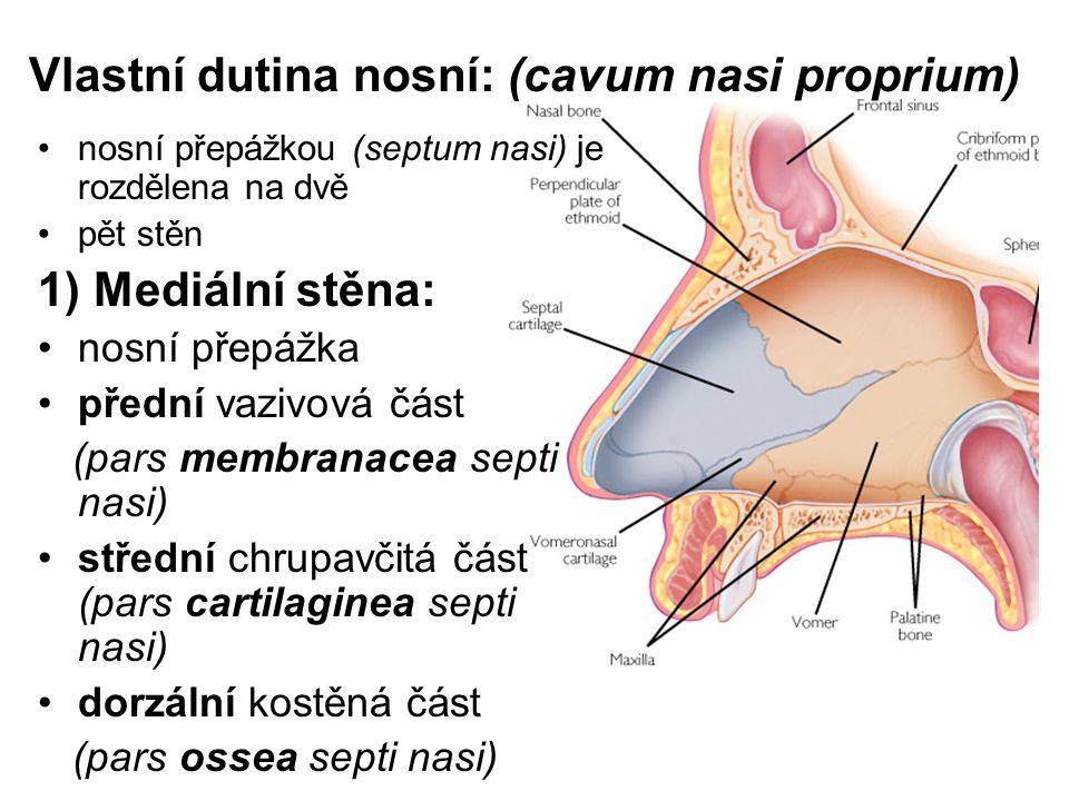Vlastní dutina nosní: (cavum nasi proprium)