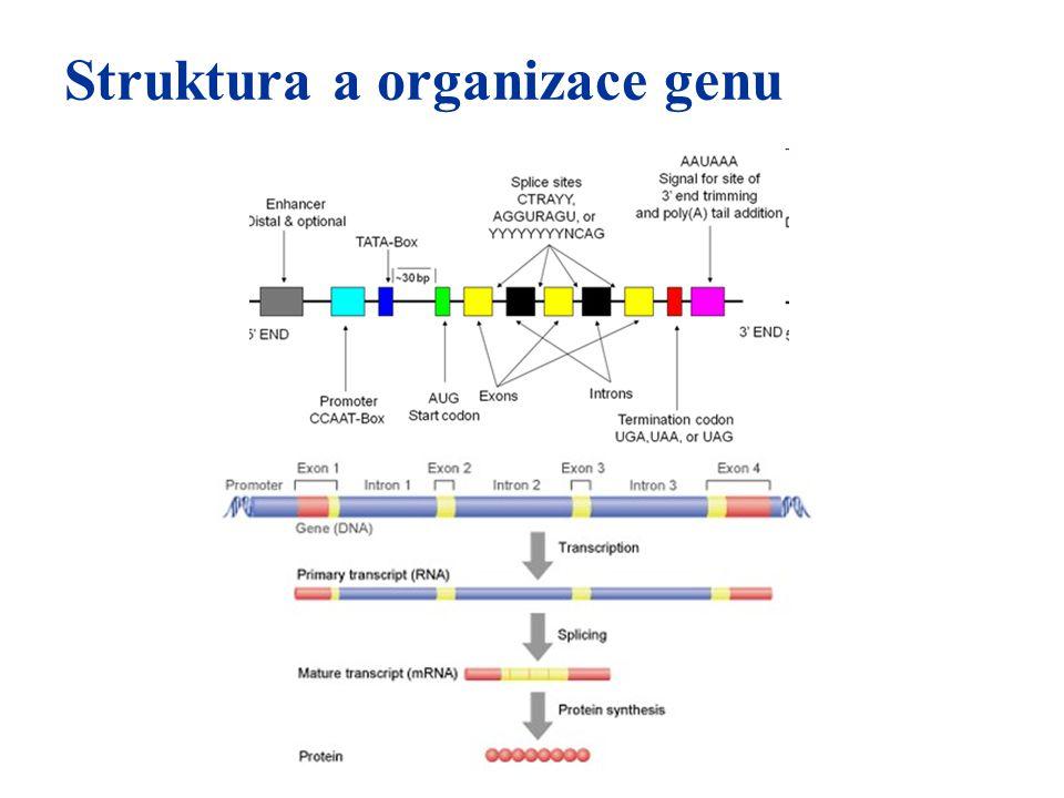 Struktura a organizace genu