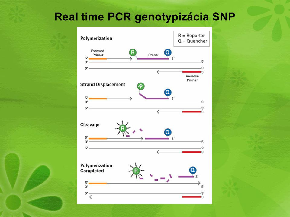 Real time PCR genotypizácia SNP