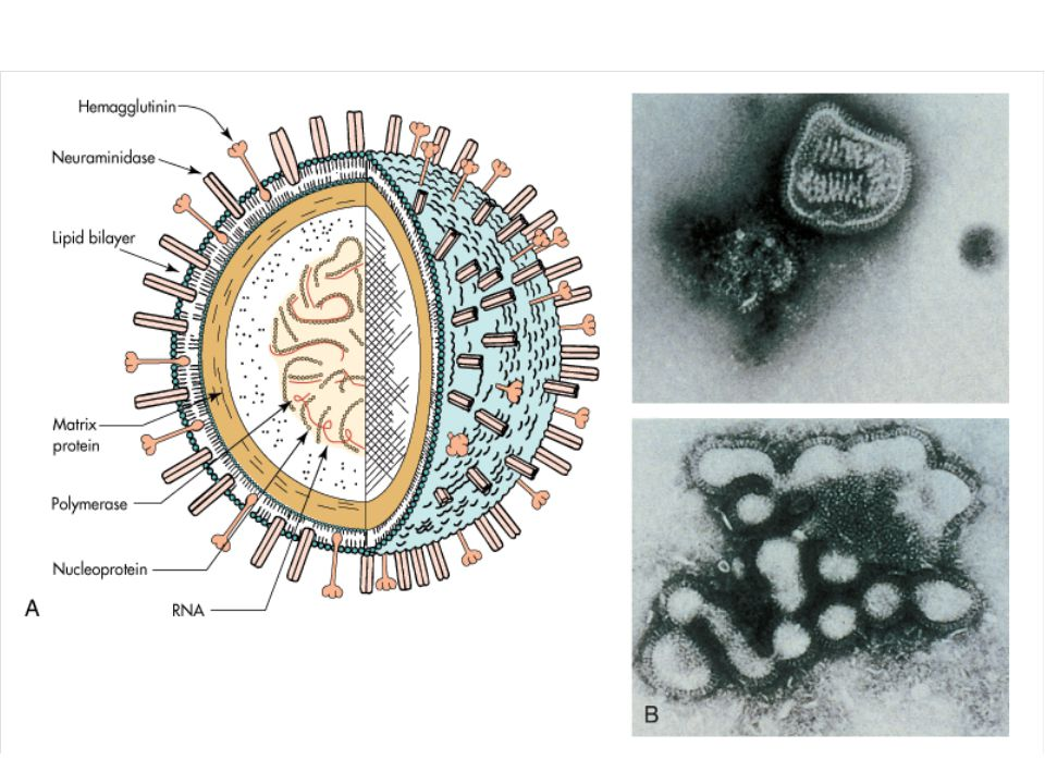 Virus chřipky