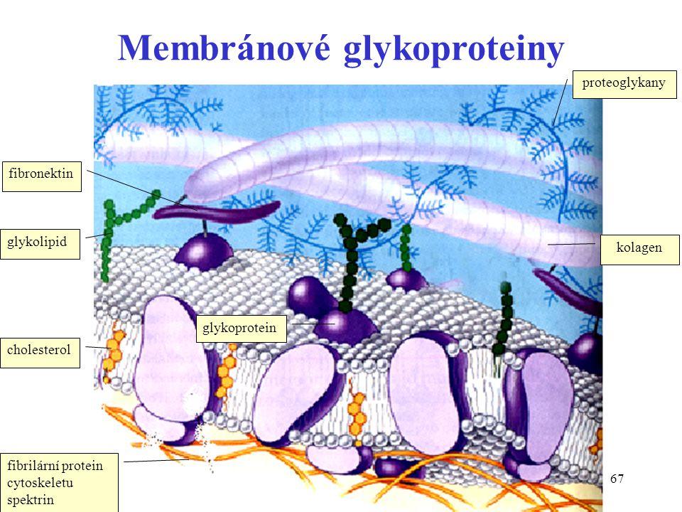 Membránové glykoproteiny