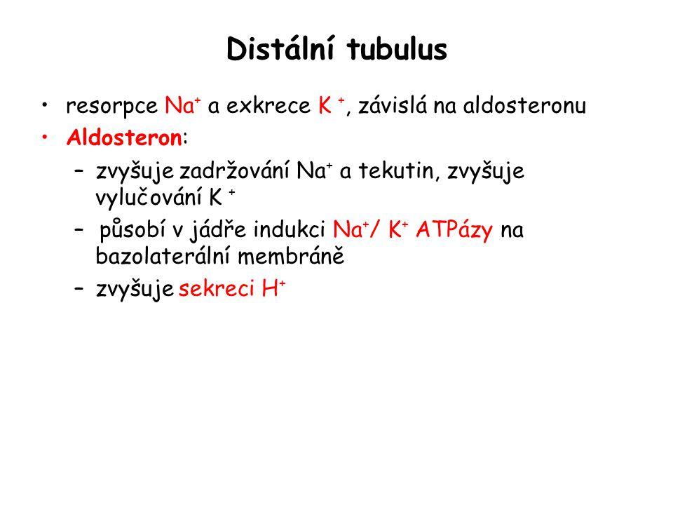 Distální tubulus resorpce Na+ a exkrece K +, závislá na aldosteronu
