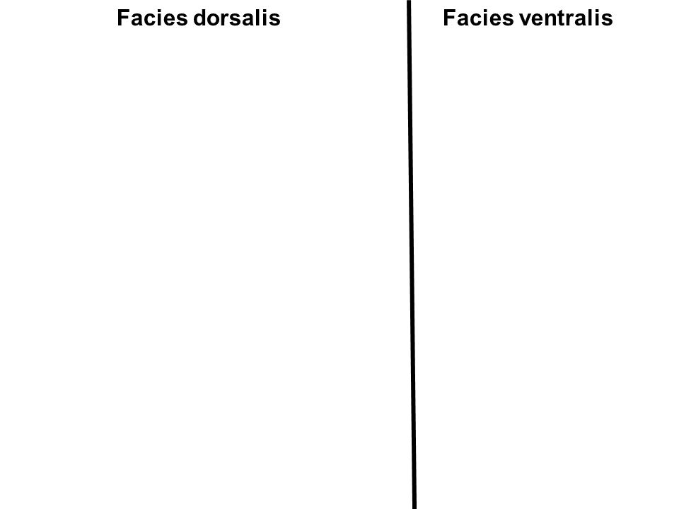 Facies dorsalis Facies ventralis