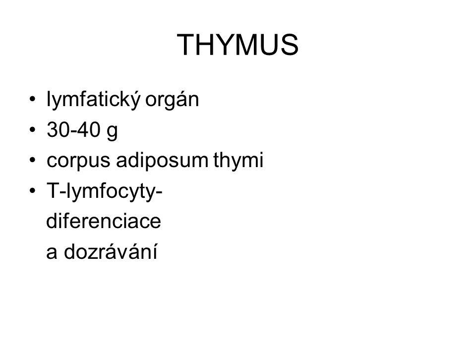 THYMUS lymfatický orgán 30-40 g corpus adiposum thymi T-lymfocyty-