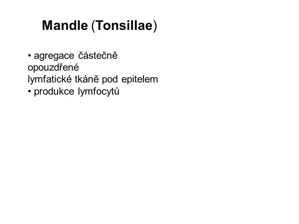 Mandle (Tonsillae) • agregace částečně opouzdřené