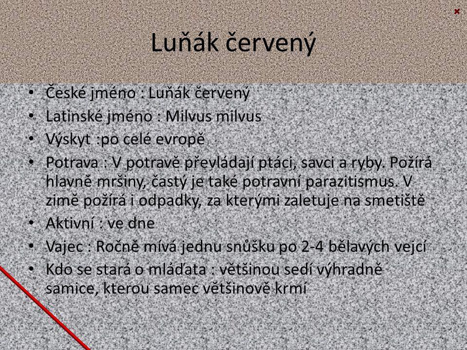 Luňák červený České jméno : Luňák červený