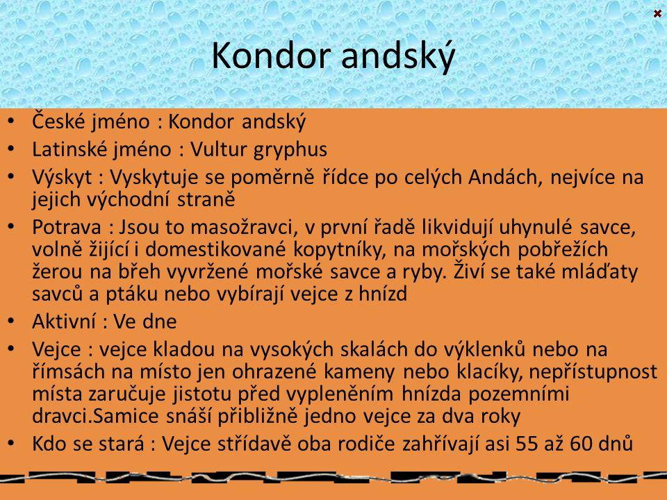 Kondor andský České jméno : Kondor andský