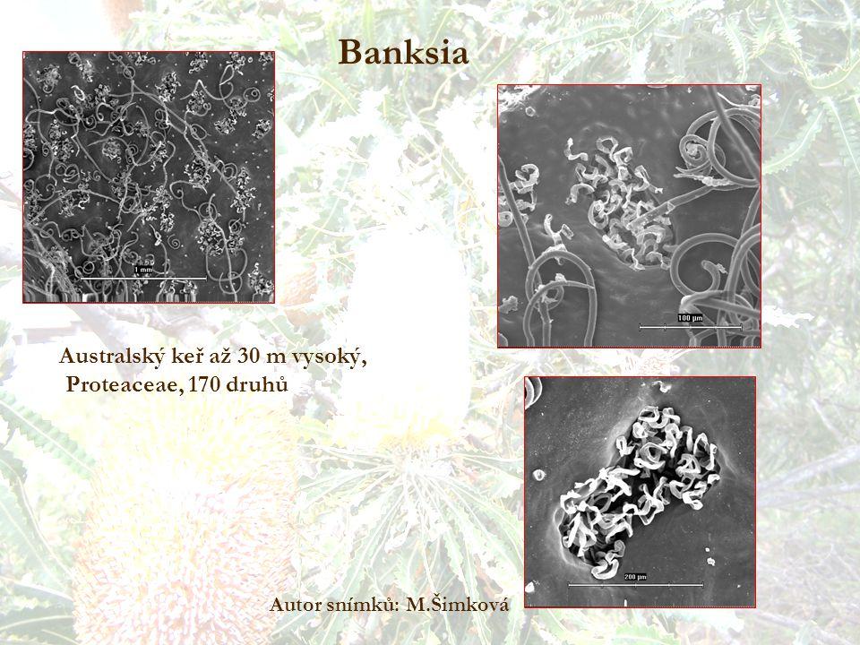 Banksia Australský keř až 30 m vysoký, Proteaceae, 170 druhů