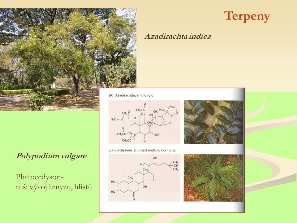 Terpeny Azadirachta indica Polypodium vulgare Phytoecdyson-