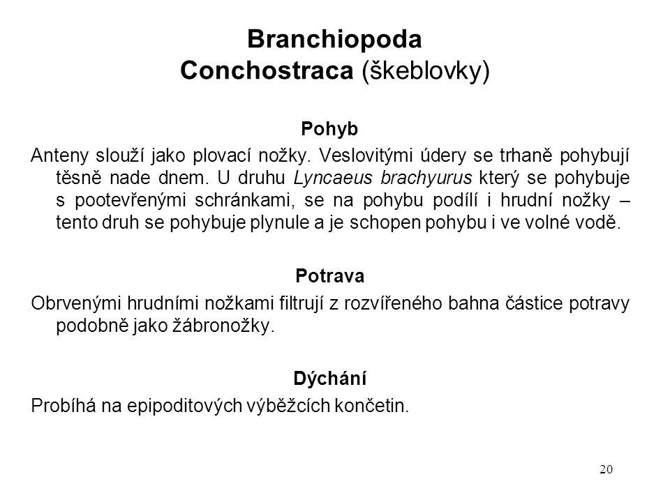 Conchostraca (škeblovky)