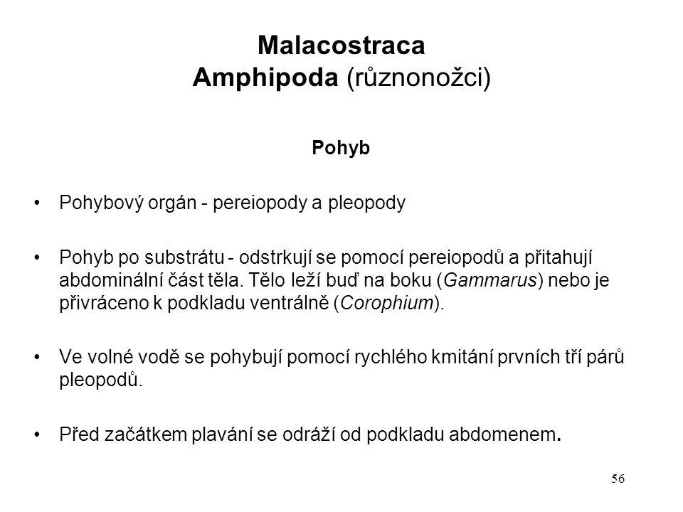 Amphipoda (různonožci)