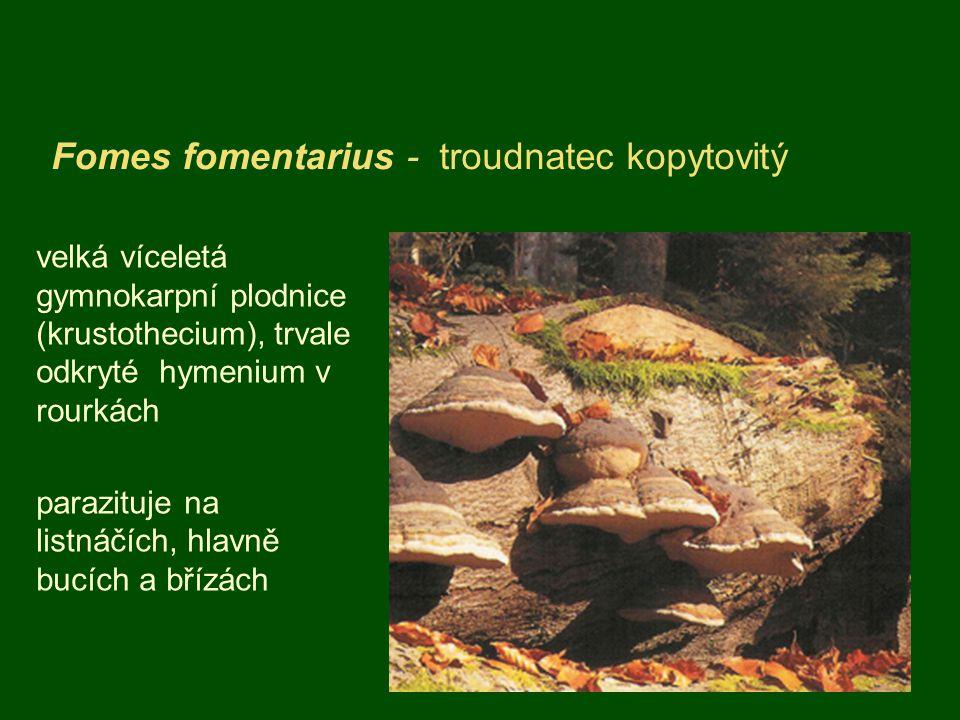 Fomes fomentarius - troudnatec kopytovitý