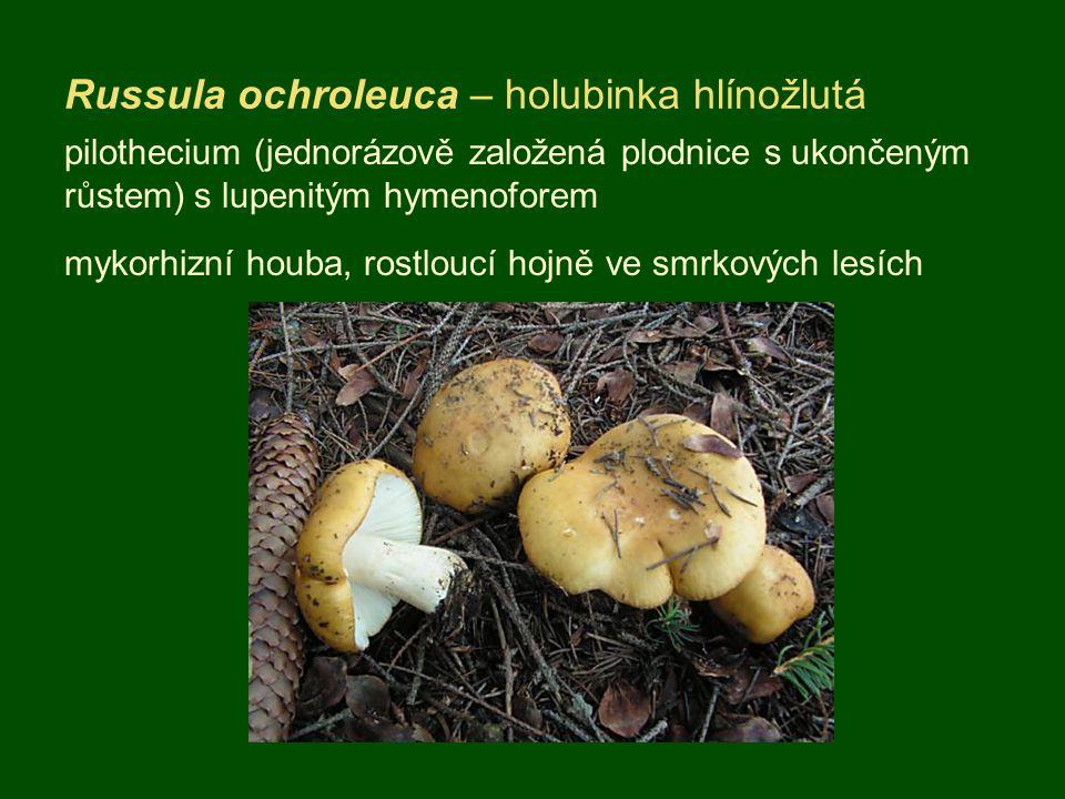 Russula ochroleuca – holubinka hlínožlutá