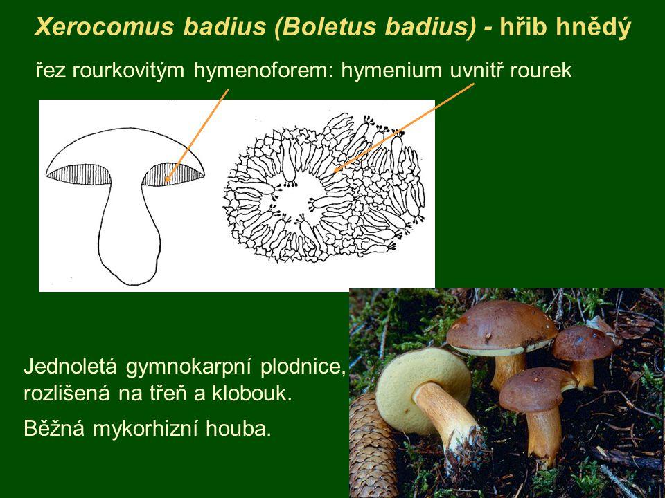 Xerocomus badius (Boletus badius) - hřib hnědý