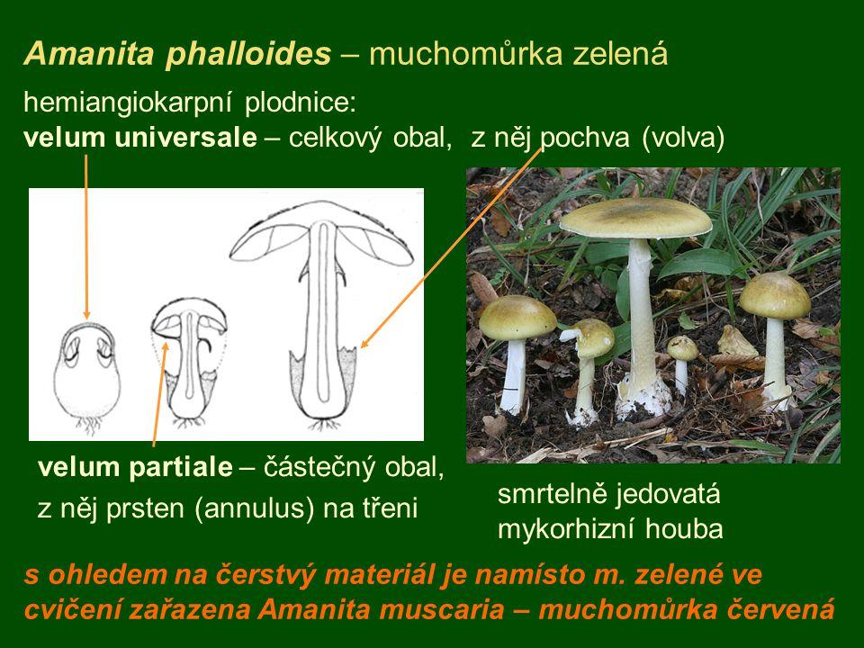 Amanita phalloides – muchomůrka zelená