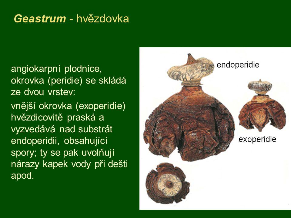 Geastrum - hvězdovka endoperidie. angiokarpní plodnice, okrovka (peridie) se skládá ze dvou vrstev: