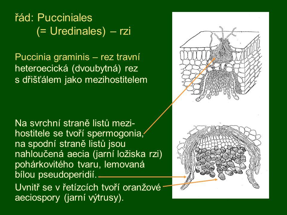 řád: Pucciniales (= Uredinales) – rzi Puccinia graminis – rez travní heteroecická (dvoubytná) rez s dřišťálem jako mezihostitelem