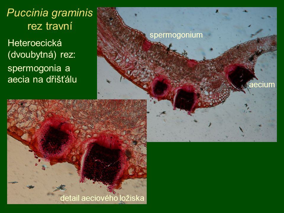 Puccinia graminis rez travní