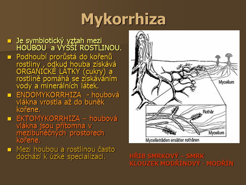 Mykorrhiza Je symbiotický vztah mezi HOUBOU a VYŠŠÍ ROSTLINOU.