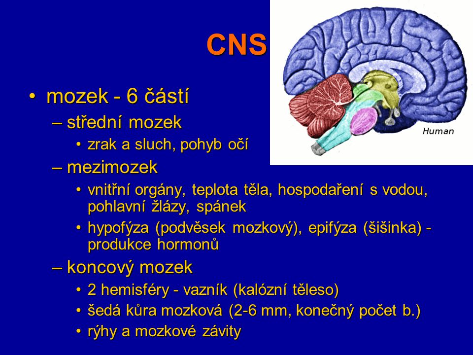 CNS mozek - 6 částí střední mozek mezimozek koncový mozek