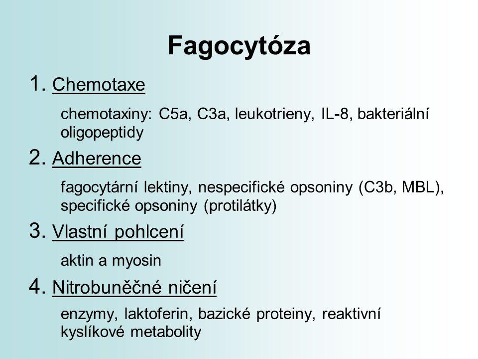 Fagocytóza 1. Chemotaxe. chemotaxiny: C5a, C3a, leukotrieny, IL-8, bakteriální oligopeptidy. 2. Adherence.