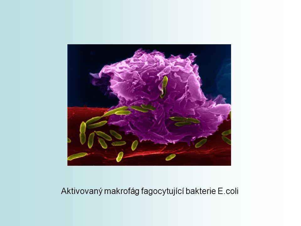 Aktivovaný makrofág fagocytující bakterie E.coli