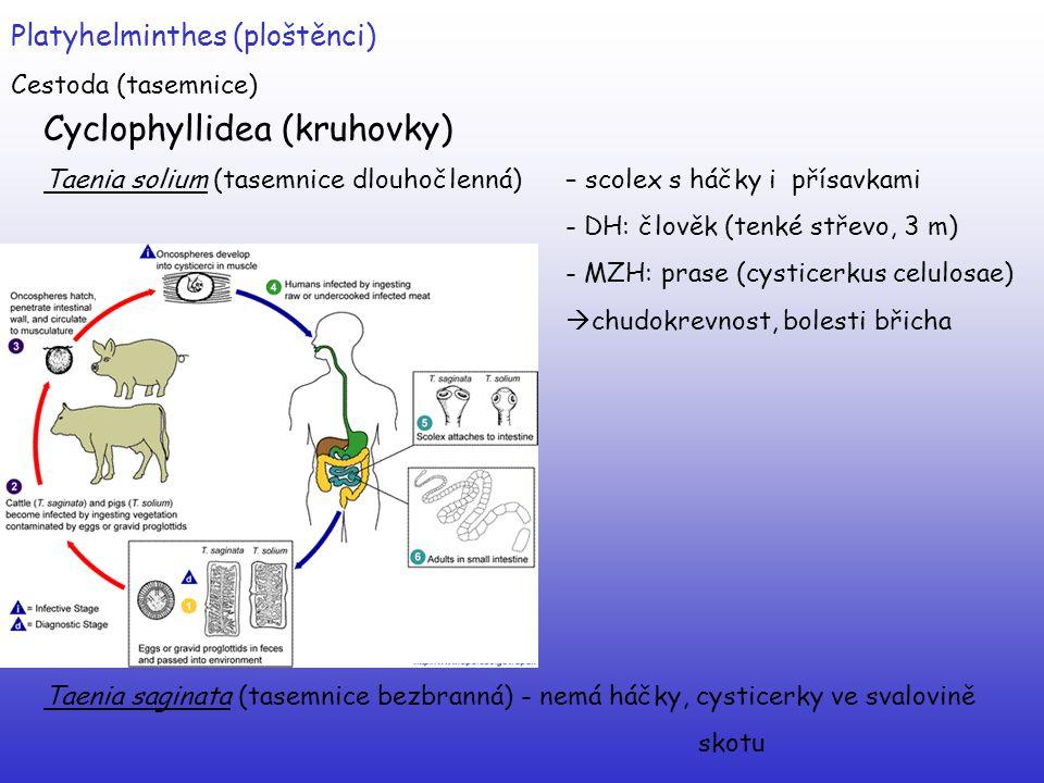 Cyclophyllidea (kruhovky)