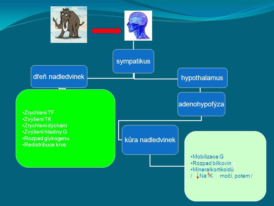 sympatikus dřeň nadledvinek hypothalamus adenohypofýza