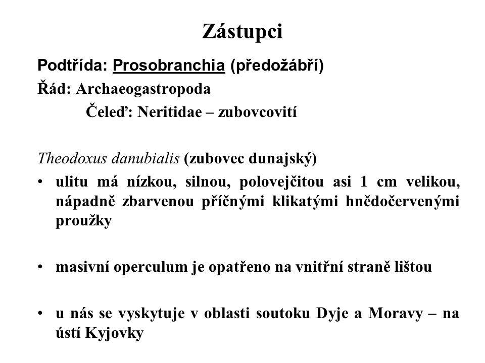Zástupci Podtřída: Prosobranchia (předožábří) Řád: Archaeogastropoda