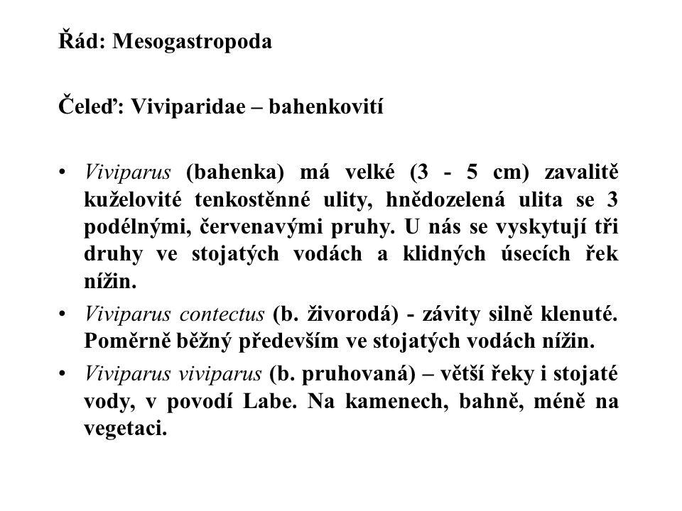 Řád: Mesogastropoda Čeleď: Viviparidae – bahenkovití.