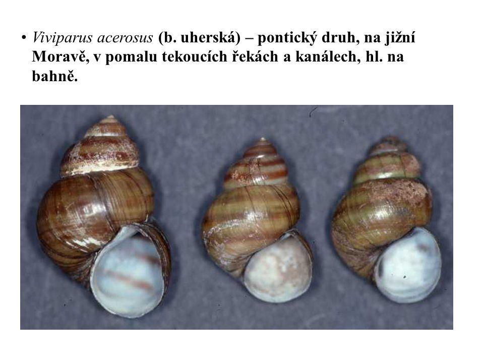 Viviparus acerosus (b.