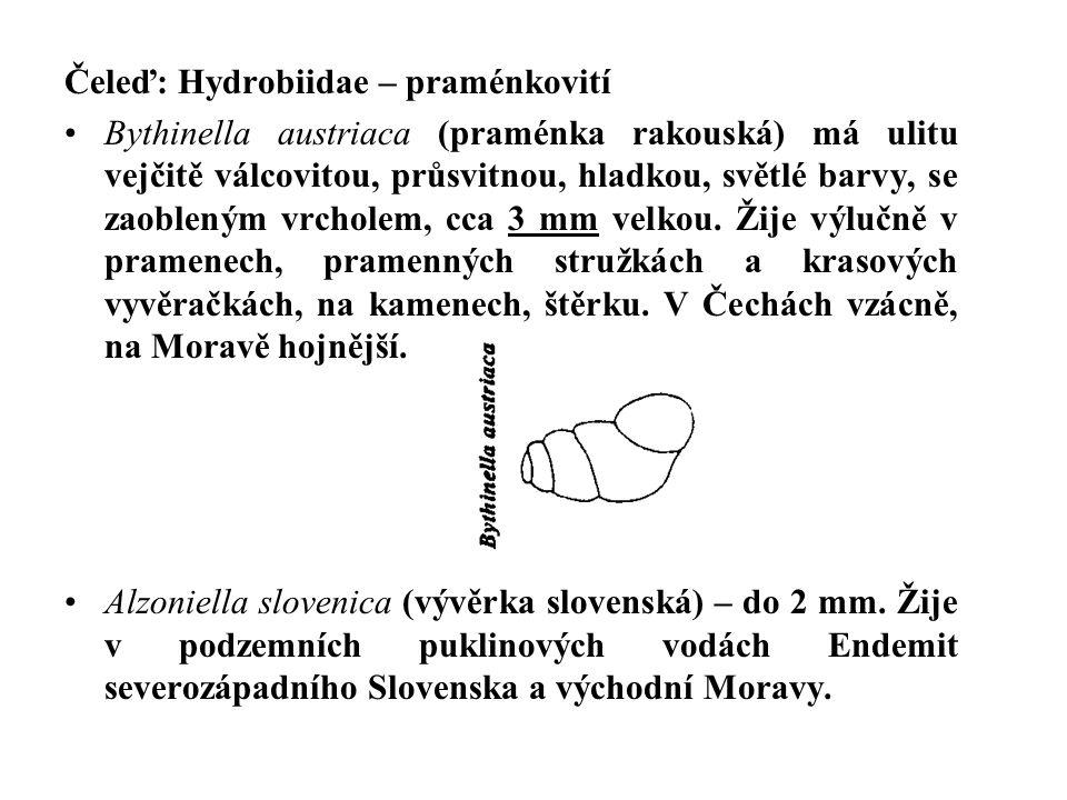 Čeleď: Hydrobiidae – praménkovití