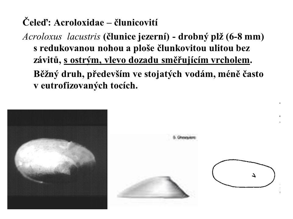 Čeleď: Acroloxidae – člunicovití