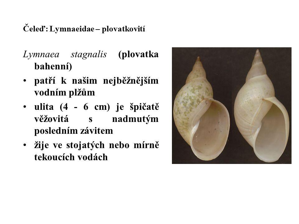 Lymnaea stagnalis (plovatka bahenní)