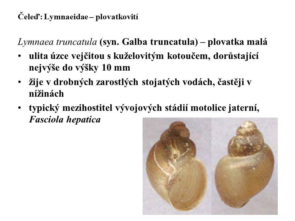 Lymnaea truncatula (syn. Galba truncatula) – plovatka malá