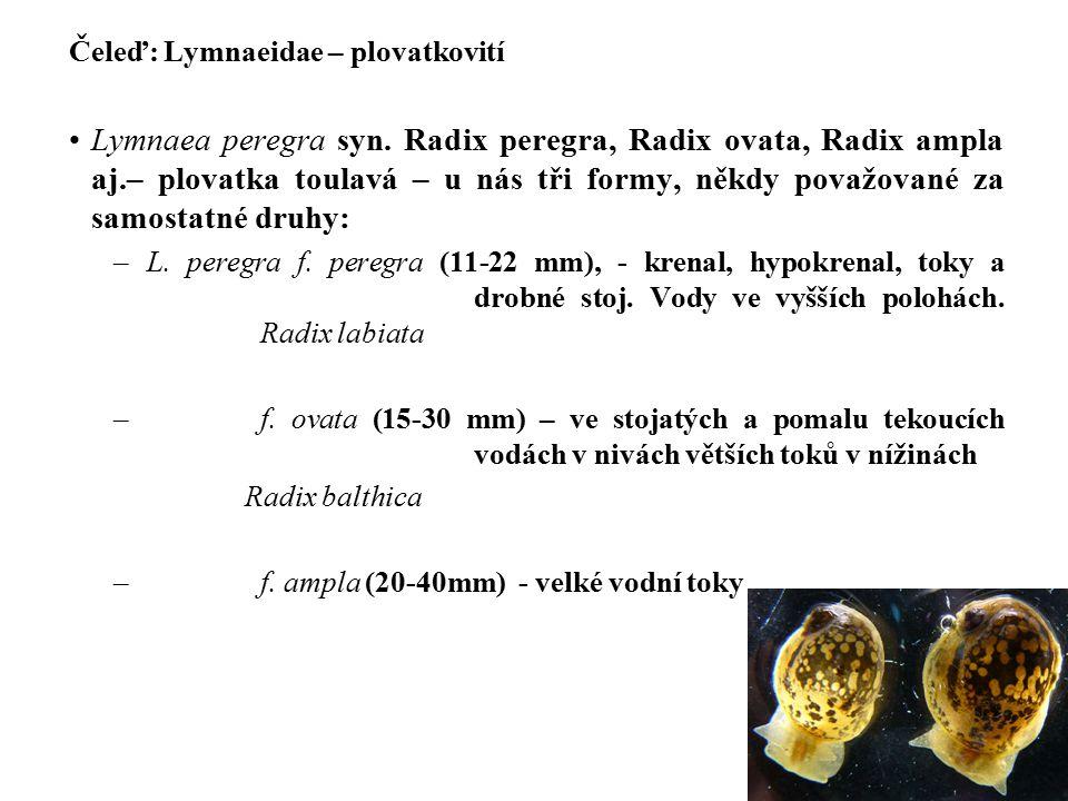 Čeleď: Lymnaeidae – plovatkovití