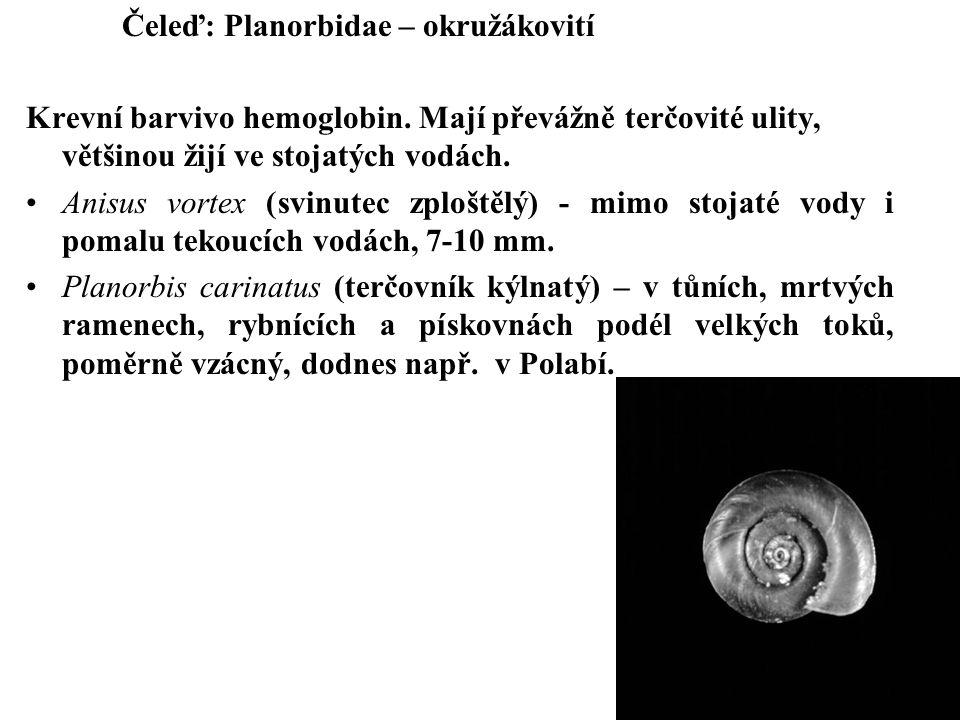 Čeleď: Planorbidae – okružákovití