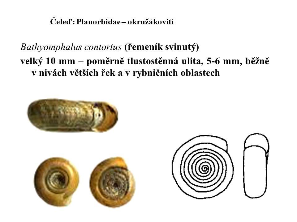 Bathyomphalus contortus (řemeník svinutý)