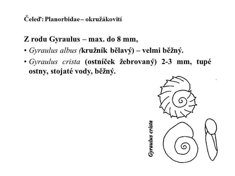 Z rodu Gyraulus – max. do 8 mm,