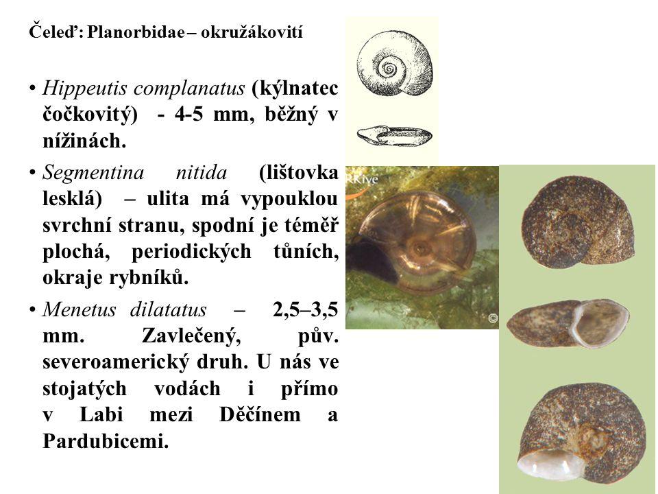 Hippeutis complanatus (kýlnatec čočkovitý) - 4-5 mm, běžný v nížinách.