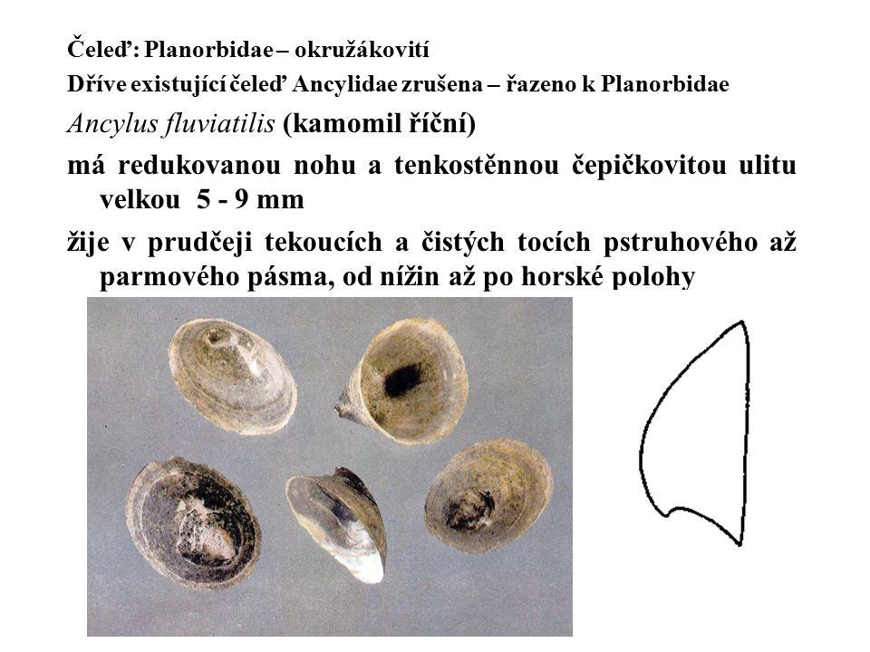 Ancylus fluviatilis (kamomil říční)