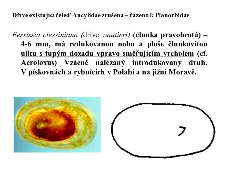 Dříve existující čeleď Ancylidae zrušena – řazeno k Planorbidae