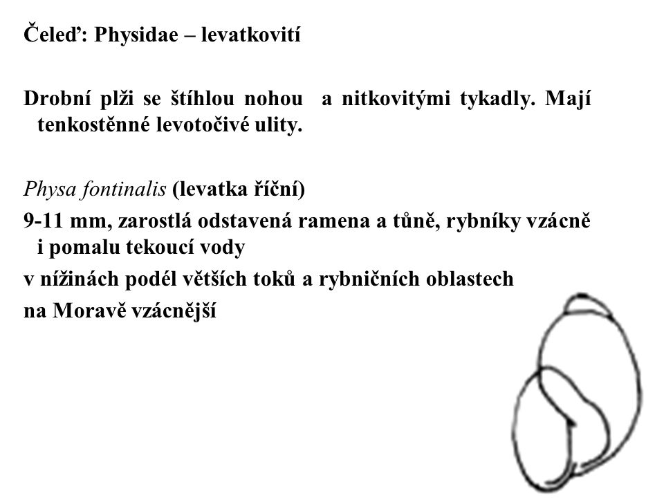 Čeleď: Physidae – levatkovití