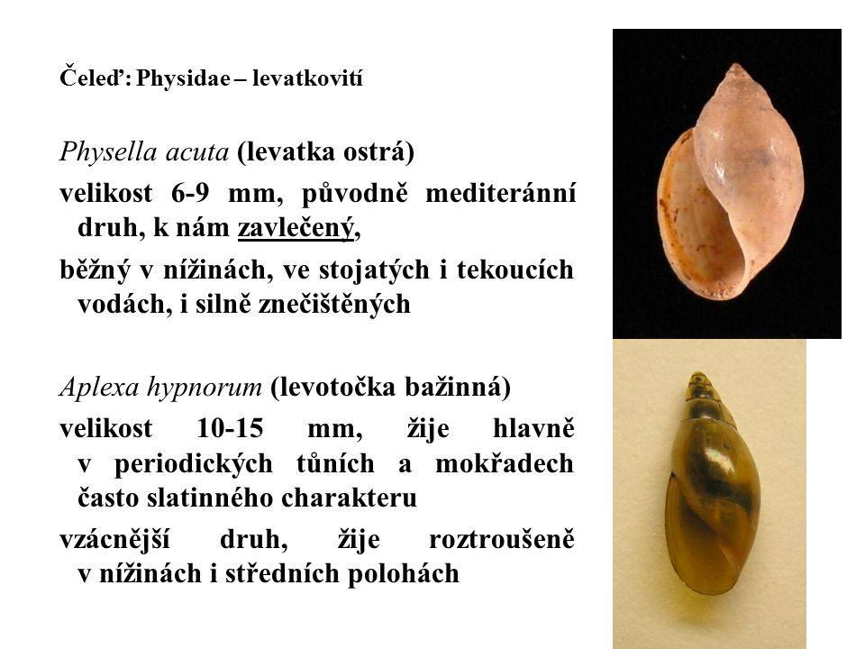 Physella acuta (levatka ostrá)