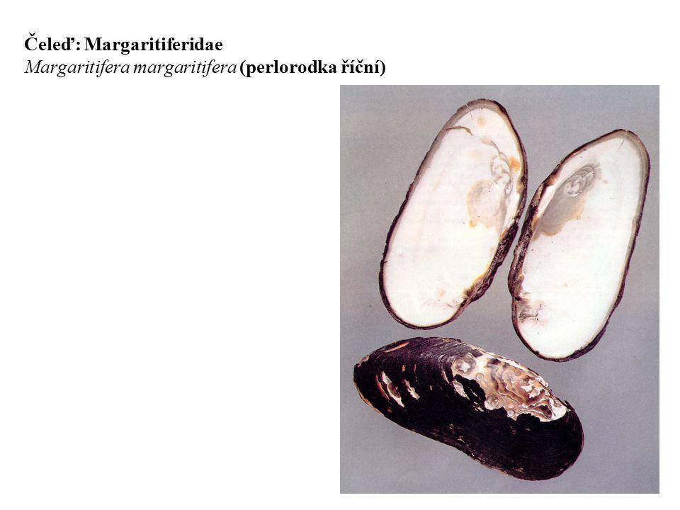 Čeleď: Margaritiferidae