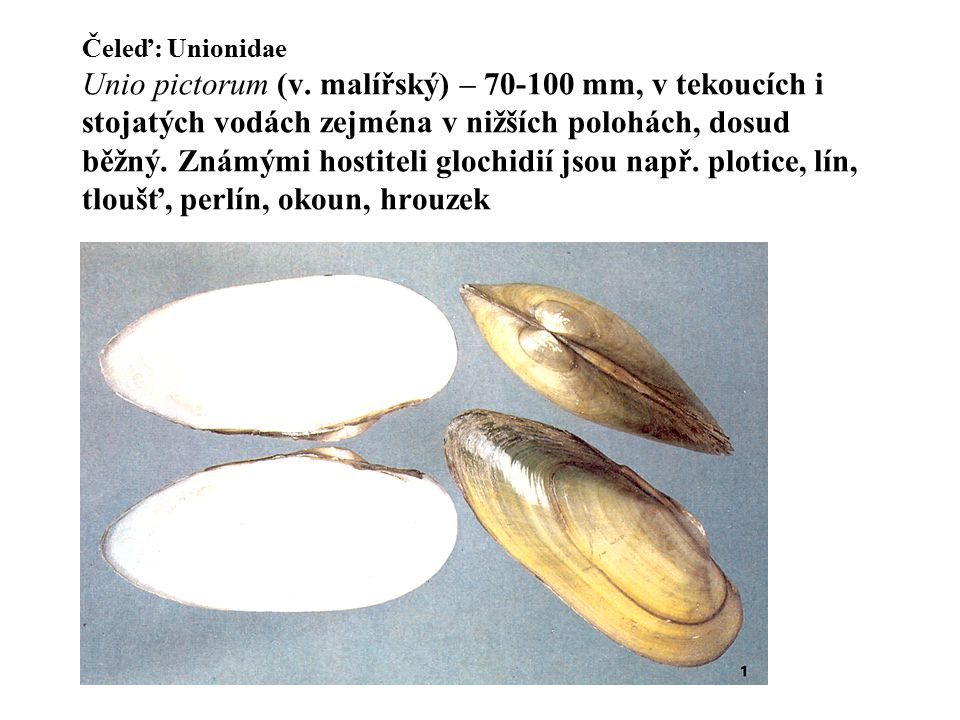 Čeleď: Unionidae Unio pictorum (v