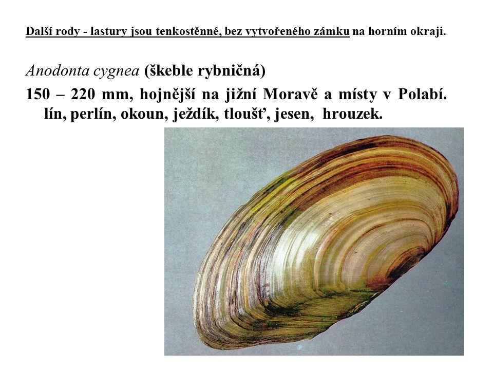 Anodonta cygnea (škeble rybničná)
