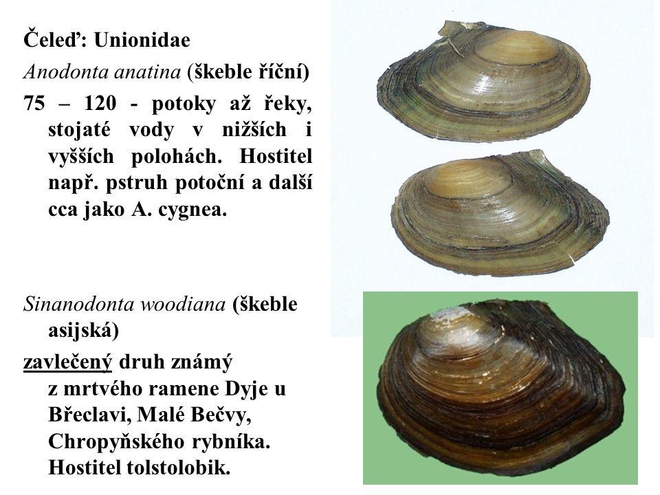Čeleď: Unionidae Anodonta anatina (škeble říční)