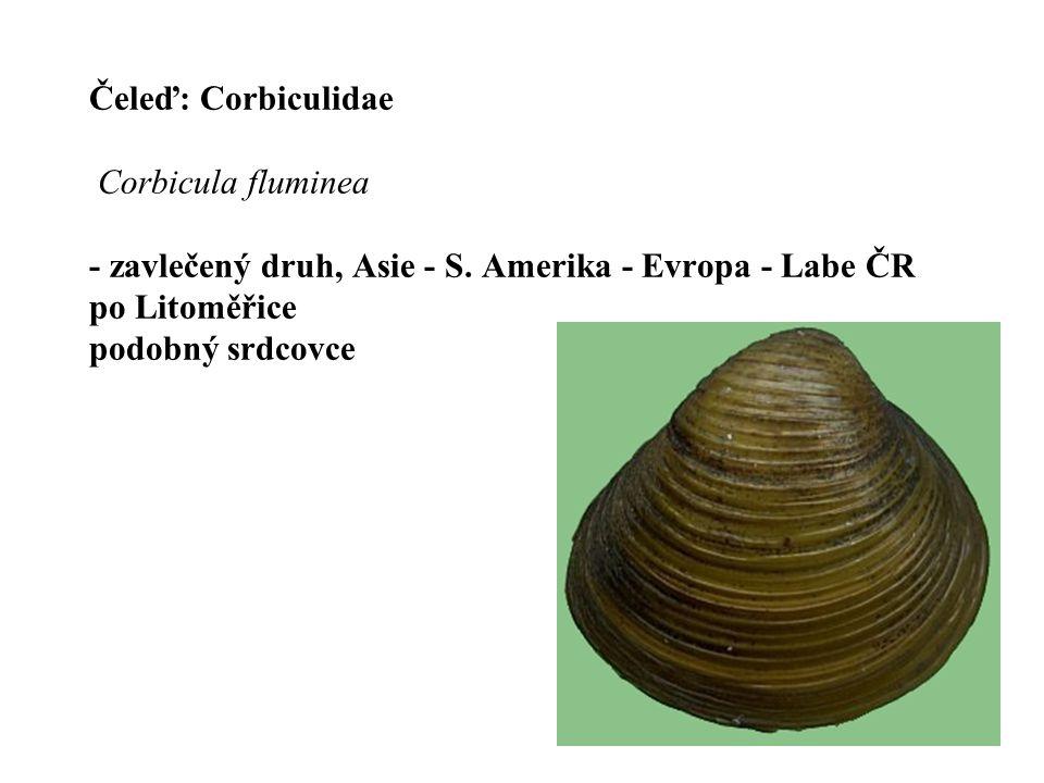 Čeleď: Corbiculidae Corbicula fluminea - zavlečený druh, Asie - S